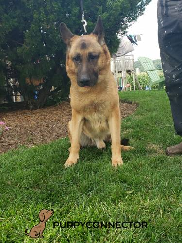 Honz - a german shepherd stud in Lancaster, PA