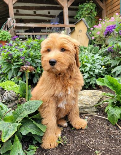 Buttercup - a 4 month old moyen goldendoodle puppy in Cochranville, PA