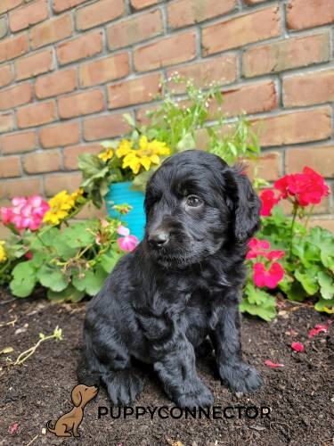 Beaver - a 3 month old mini goldendoodle puppy in Lancaster, PA