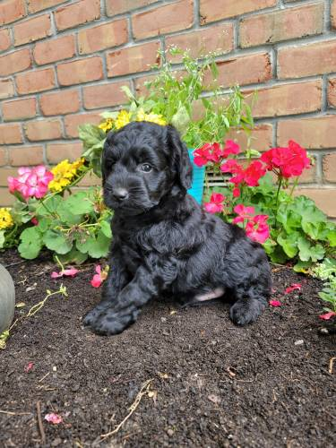 Eli - a 4 month old mini goldendoodle puppy in Lancaster, PA