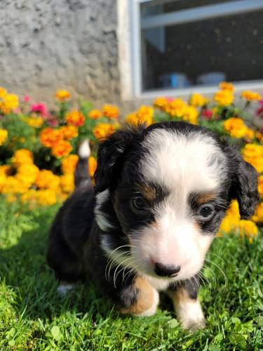 Addison - a 3 month old mini bernedoodle puppy in Honey Brook, PA