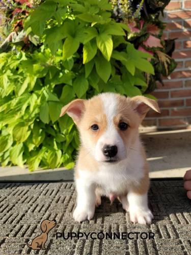 Baja - a 3 month old welsh corgi puppy in Narvon, PA