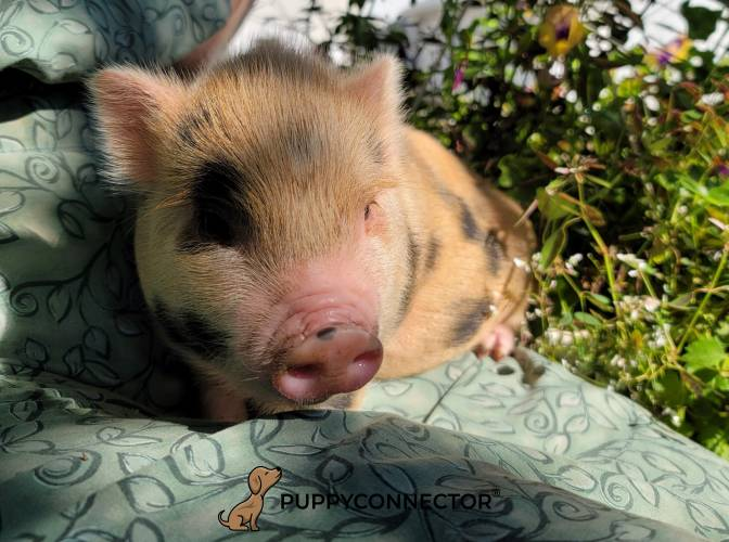 Lucy - a 3 month old mini pot bellied piglet in Ephrata, PA