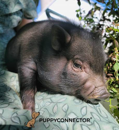 Leonard - a 3 month old pot bellied piglet in Ephrata, PA