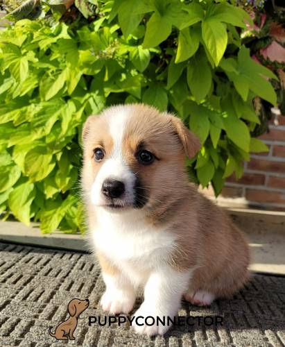 Kurtis - a 3 month old welsh corgi puppy in Narvon, PA