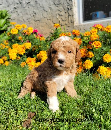 Cassidy - a 3 month old mini goldendoodle puppy in Honey Brook, PA