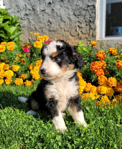 Alex - a 3 month old mini bernedoodle puppy in Honey Brook, PA