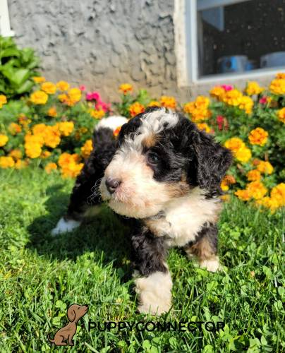 Bailey - a 3 month old mini bernedoodle puppy in Honey Brook, PA