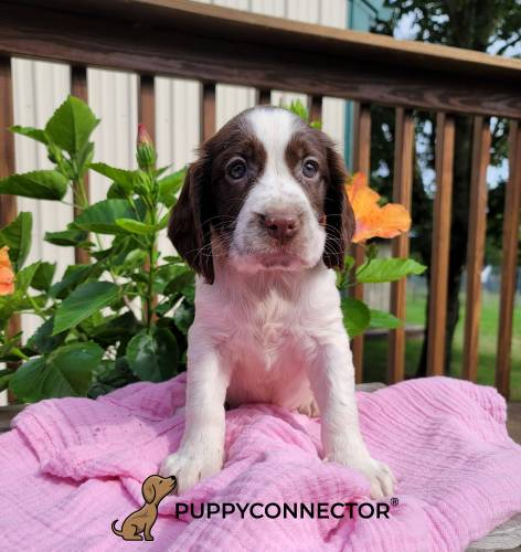 Kelly - a 3 month old english springer spaniel puppy in Denver, PA
