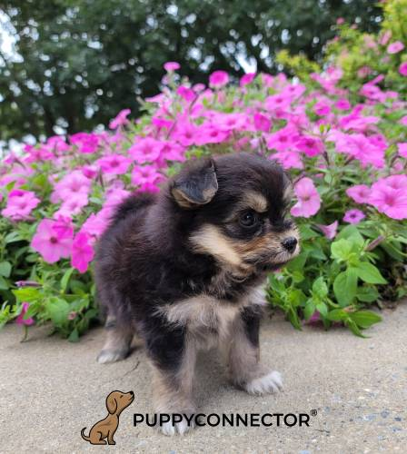 Julie - a 3 month old malti-pom puppy in New Holland, PA