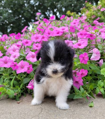 Hiro - a 3 month old malti-pom puppy in New Holland, PA