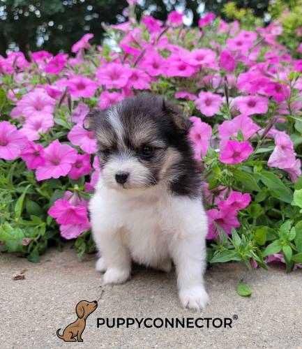 Java - a 3 month old malti-pom puppy in New Holland, PA