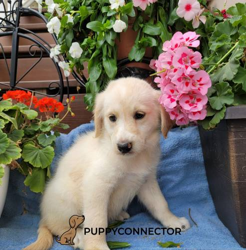 Anne - a 3 month old labradoodle puppy in Gap, PA