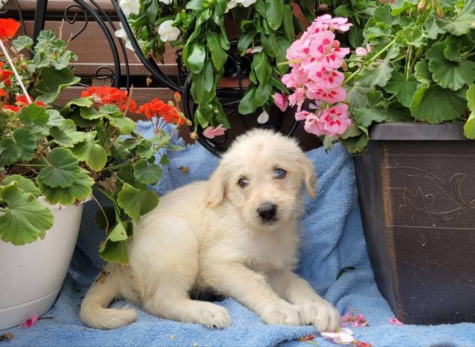 Jake - a 3month old labradoodle puppy in Gap, PA