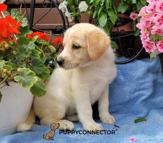 Clair - a 3 month old labradoodle puppy in Gap, PA
