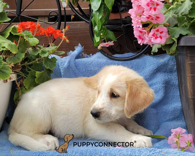 Dylan - a 3 month old labradoodle puppy in Gap, PA