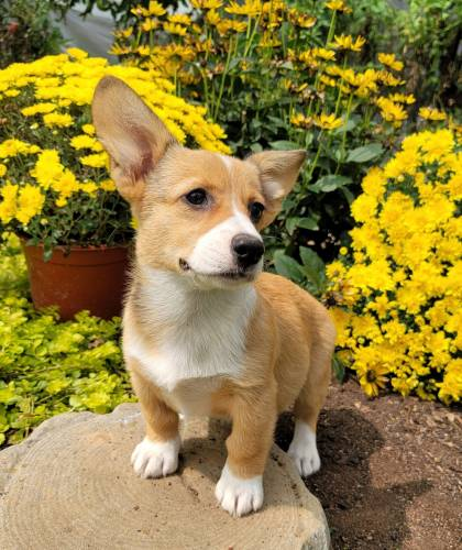 Clara - a 5 month old welsh corgi puppy in Bird In Hand, PA