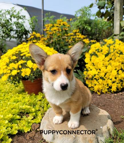 Cindy - a 4 month old welsh corgi puppy in Bird In Hand, PA