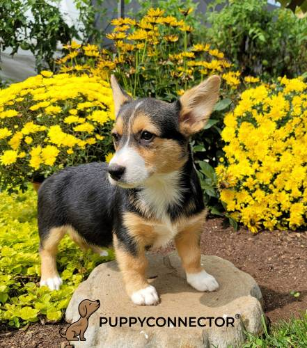 Captain - a 4 month old welsh corgi puppy in Bird In Hand, PA
