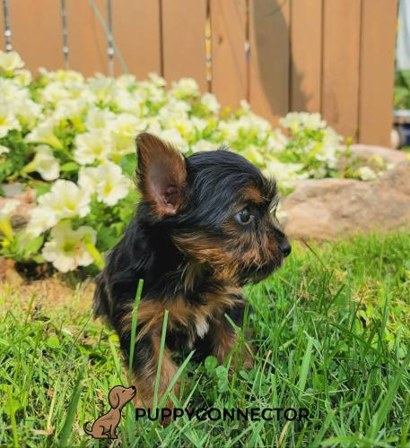 Mack - a 4 month old yorkshire terrier puppy in Spring Glen, PA