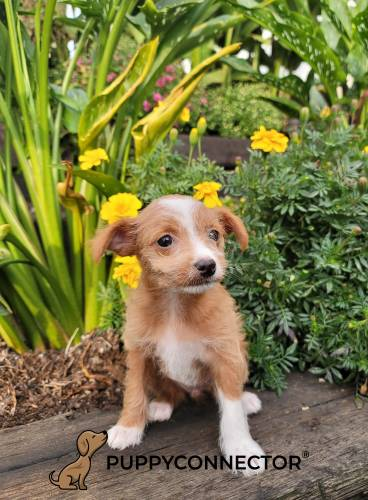 Grace - a 3 month old toy fox terrier mix puppy in Christiana, PA