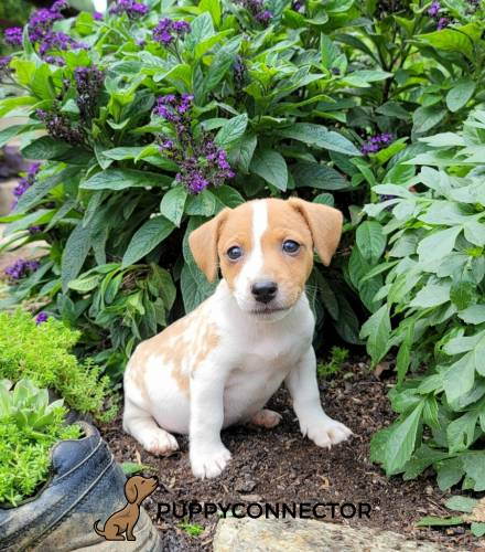 Gerber - a 3 month old jack russell terrier puppy in Cochranville, PA