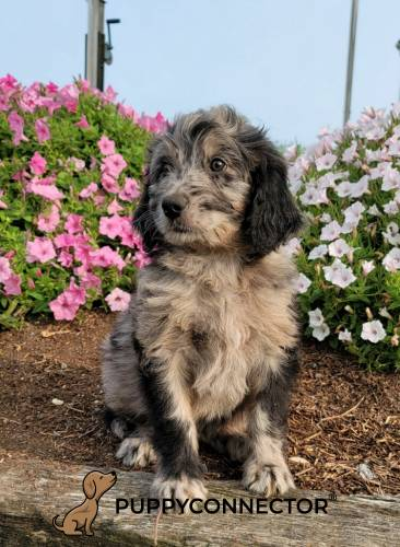 Adele - a 3 month old bernedoodle puppy in Quarryville, PA