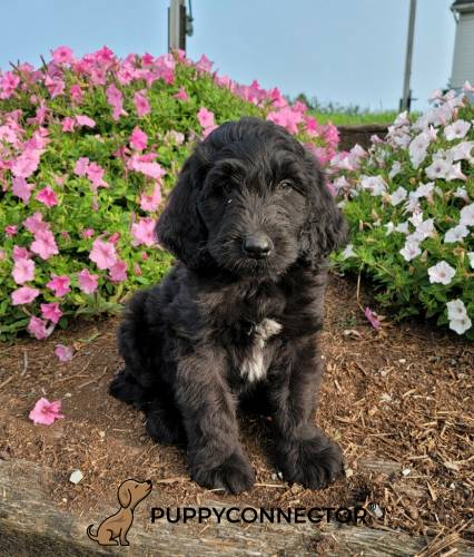 Lennon - a 3 month old bernedoodle puppy in Quarryville, PA