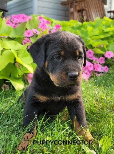 Maggie - a 3 month old rottweiler puppy in Carlisle, PA