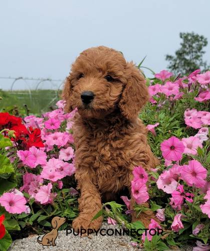 Buster - a 3 month old mini goldendoodle puppy in Bird In Hand, PA