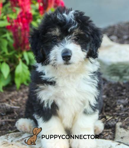 Bella - a 4 month old mini bernedoodle puppy in Howard, PA