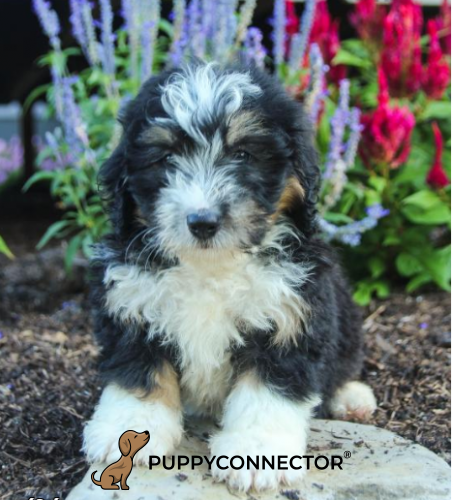 Bobby - a 4 months old mini bernedoodle puppy in Howard, PA