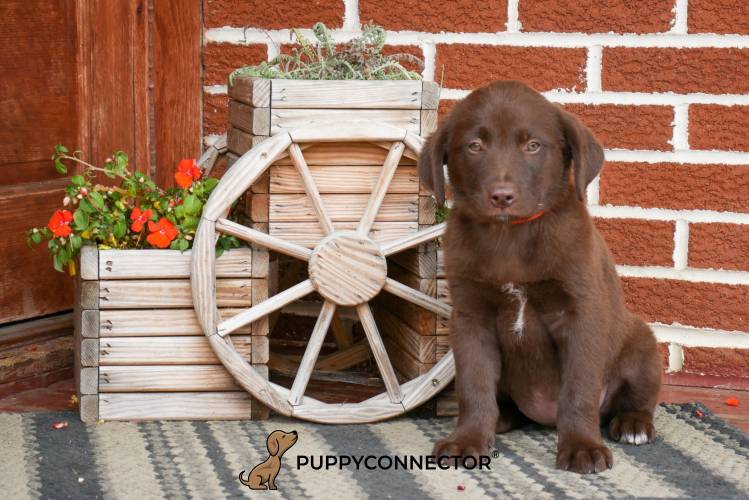 Candace - a 4 month old labrador retriever puppy in Rebersburg, PA