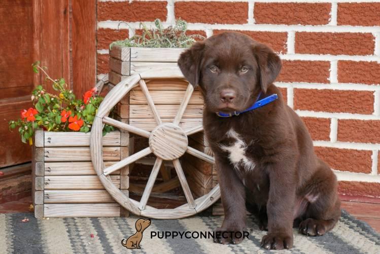 Champ - a 4 month old labrador retriever puppy in Rebersburg, PA