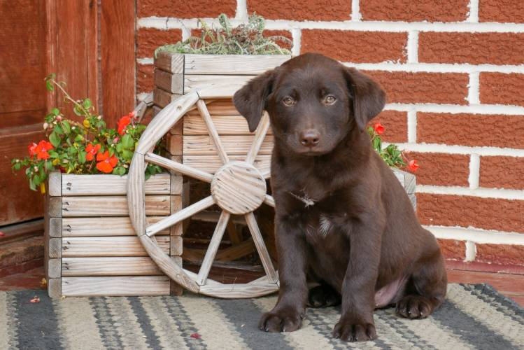 Chocolate - a 4 month old labrador retriever mix puppy in Rebersburg, PA