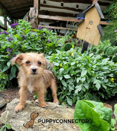 Betsy - a 4 month old shorkie puppy in Cochranville, PA