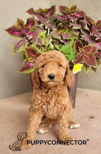 Bessy - a 3 month old mini goldendoodle puppy in Bird Hand, PA