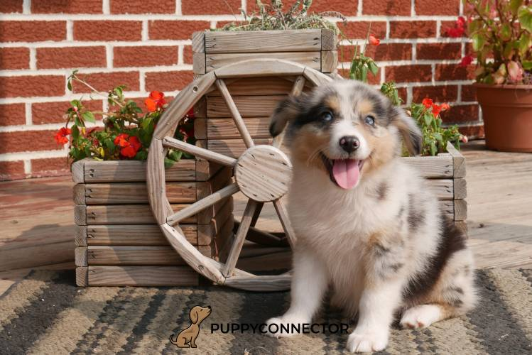 Flair - a 4 month old australian shepherd puppy in Rebersburg, PA