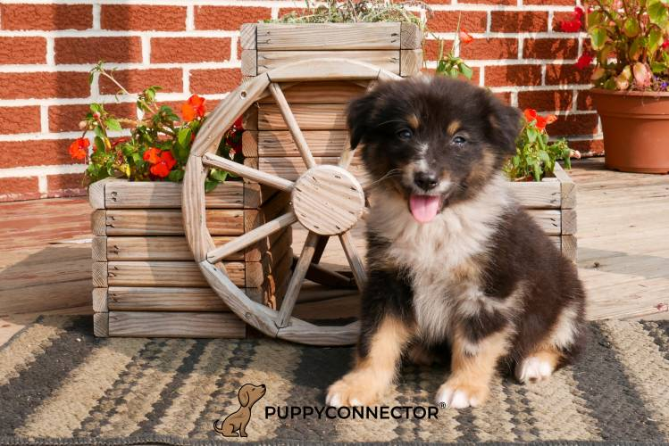 Flame - a 4 month old australian shepherd puppy in Rebersburg, PA