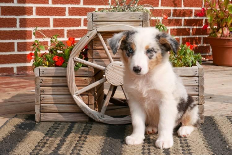 Frank - a 4 month old australian shepherd puppy in Rebersburg, PA