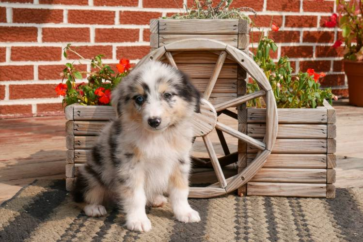 Freddy - a 4 month old australian shepherd puppy in Rebersburg, PA