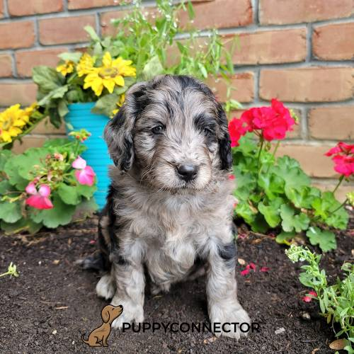 Ferris - a 4 month old mini goldendoodle puppy in Lancaster, PA