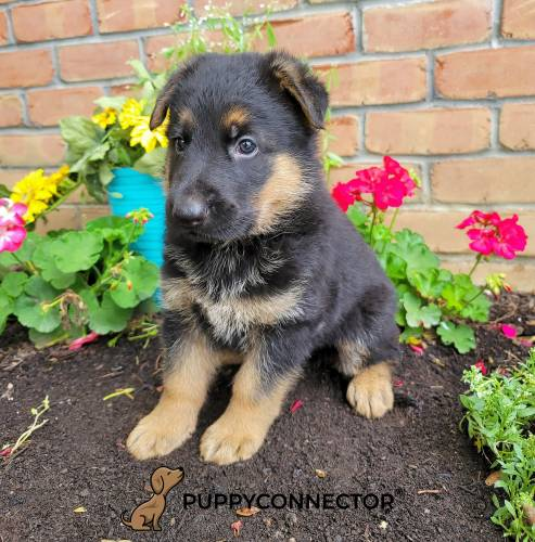 Captain - a 3 month old german shepherd puppy in Lancaster, PA