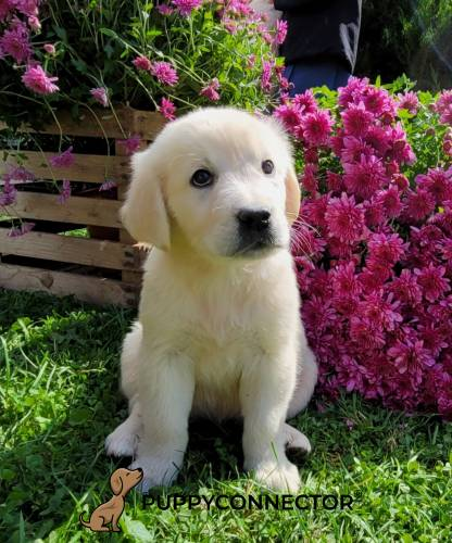 Debs - a 3 month old english cream retriever puppy in Lancaster, PA