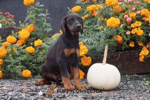 Ellie - a 10 week old doberman pinscher puppy in Delta, PA