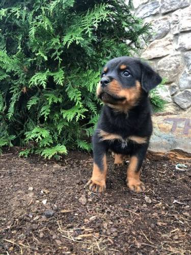 Ares - a 9 week old rottweiler puppy in Cochranville, PA