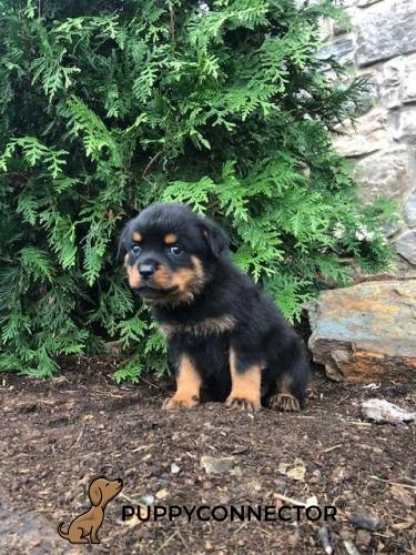 Chaos - a 9 week old rottweiler puppy in Cochranville, PA