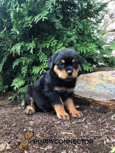 Ashton - a 9 week old rottweiler puppy in Cochranville, PA