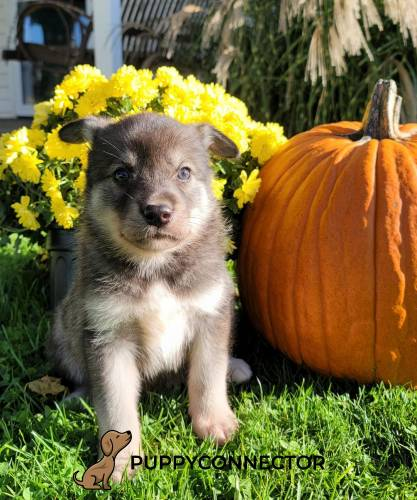 Bear - a 9 weeks old border collie mix puppy in Quarryville, PA