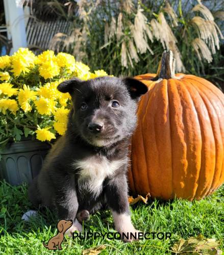 Buck - a 9 week old border collie mix puppy in Quarryville, PA